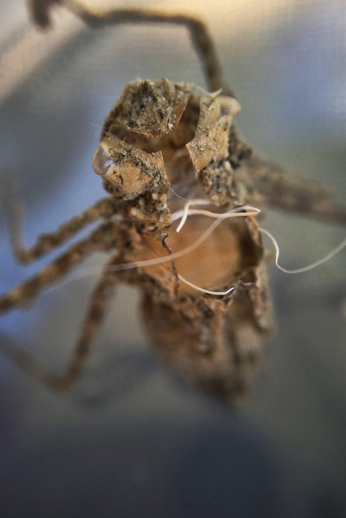 Dragonfly exuvia BeechLake