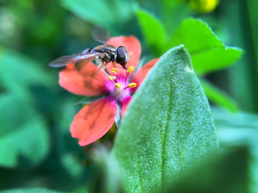 Syrphid Hover Fly feeding on a Scarlet Pimpernel