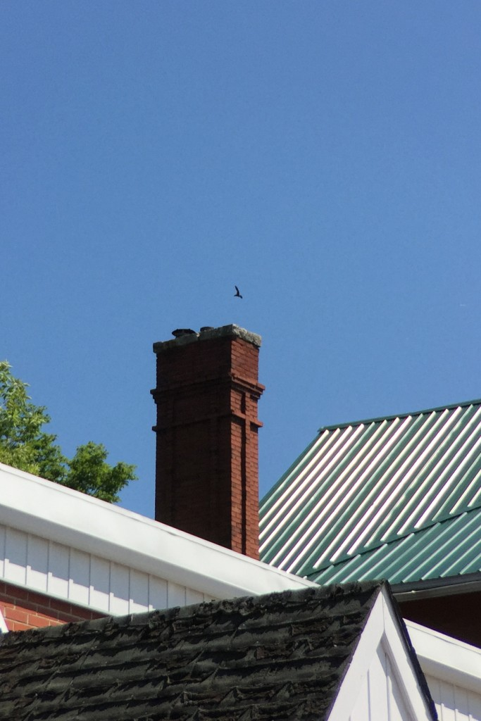 UCNFC Chimney Swift exiting Shelburne roost 2015July16