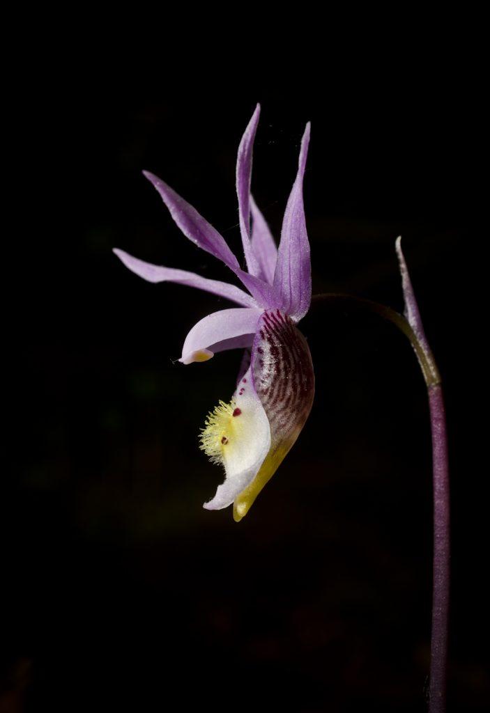 Calypso orchid (photo by Robert Burcher)
