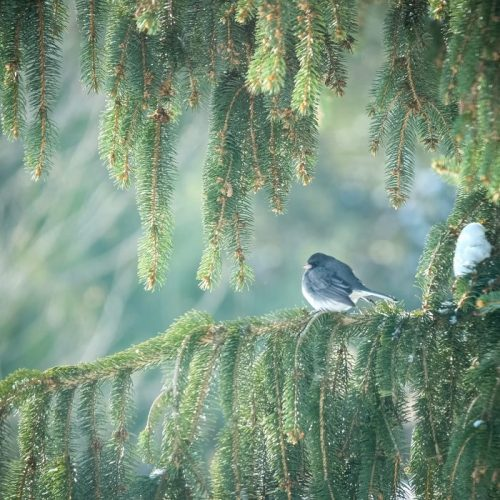 Dark-eyed Junco (by Paul Blayney)